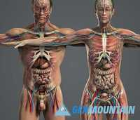 HUMAN ANATOMY 3D MODELS » Free Download Graphics, Fonts, Vectors